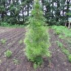 高野槇(コウヤマキ)苗木/150cm~170cm/種から約15年 全国送料無料 画像