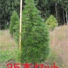 お買い得 超特大高野槇(コウヤマキ)植木/250cm~300cm 35本セット 送料無料